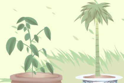 农村大门左右栽什么树